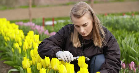 Çek : Female Researcher Walking While Examining Tulips At Field Stok Video