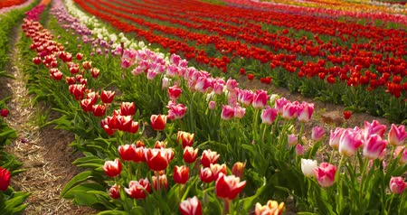 farm equipment : tulips on agruiculture field holland