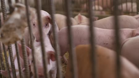 sucking : pigs, piglets on livestock farm Stock Footage
