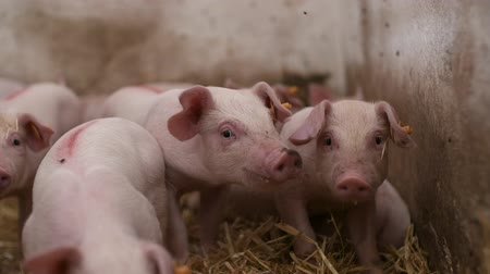 любопытство : Pigs on Livestock Farm. Pig Farming. Young Piglets at Stable.