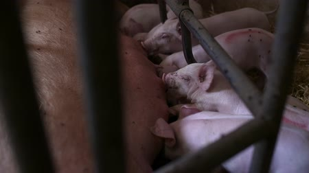 porquinho : Pigs on Livestock Farm. Pig Farming. Young Piglets at Stable.