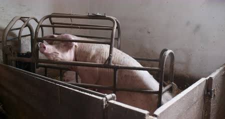 piglet : Pigs on Livestock Farm. Pig Farming. Young Piglets at Stable.