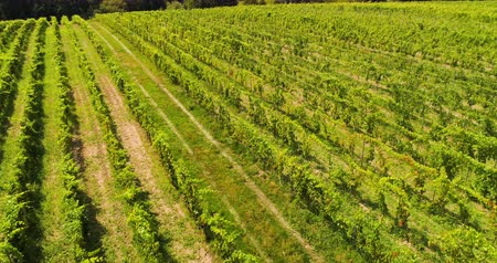 pincészet : Aerial View of Vineyard Vide Production