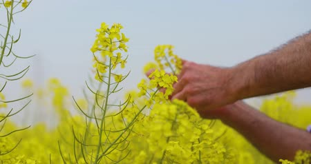 canola seeds : canola field or rapeseed field agriculture