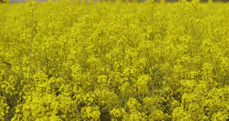 idil : canola field or rapeseed field agriculture