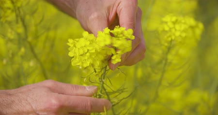 rape oil : canola field or rapeseed field agriculture