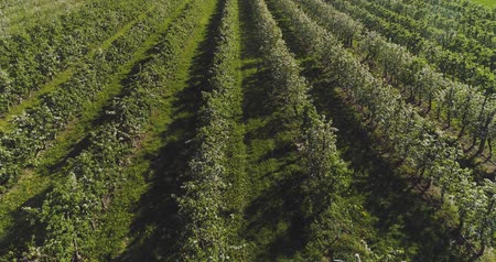 apple orchard in august aerial shoot