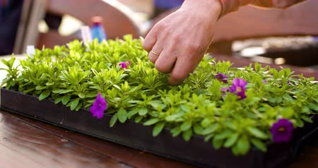 can : Gardener Examining flowers in Greenhouse Agriculture