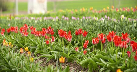 Tulips Plantation in Netherlands Agriculture Stock Footage
