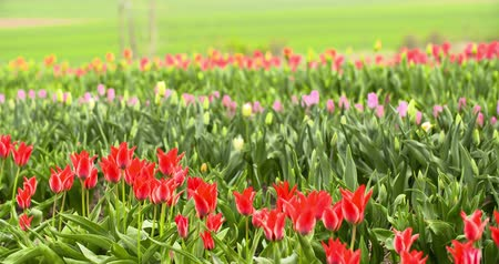 floriculture : Tulips Plantation in Netherlands Agriculture Stock Footage