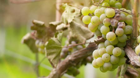 toscane : Bunch of Grapes on Vineyard at Vine Production Farm Stockvideo
