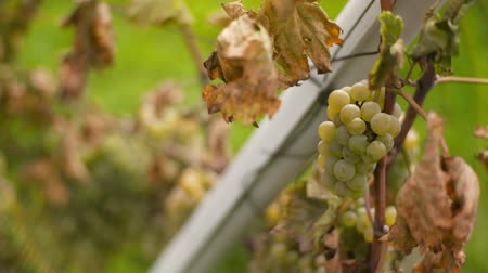 szőlőművelés : Bunch of Grapes on Vineyard at Vine Production Farm Stock mozgókép