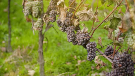 pincészet : Bunch of Grapes on Vineyard at Vine Production Farm Stock mozgókép