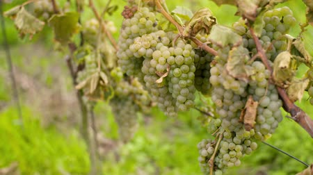 winogrona : Bunch of Grapes on Vineyard at Vine Production Farm Wideo