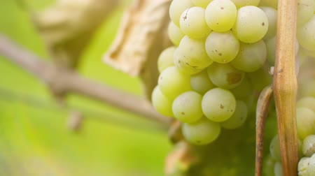 parreira : Bunch of Grapes on Vineyard at Vine Production Farm Stock Footage