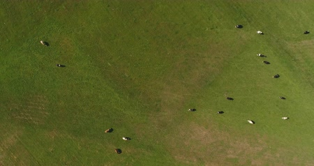 hovězí : Aerial View of Cows Grazing on Farm