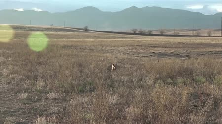 polního : Dog Running In The Field Looking fierce when dog running through field towards camera in slow-mo. Dostupné videozáznamy