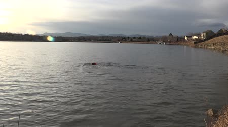 fetching : Dog swimming in lake to get ball. Stock Footage