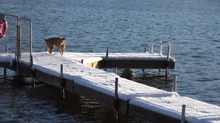 sassy : A clumsy dog slips on a snowy dock.