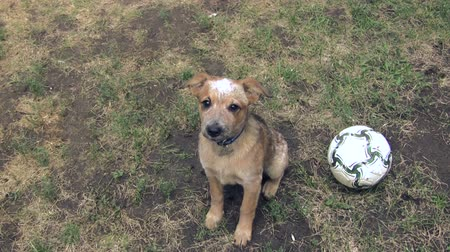 ostoba : Puppy Pleading for Football or Soccer Ball Play. A puppy looking very sad and making his case to play football or soccer.