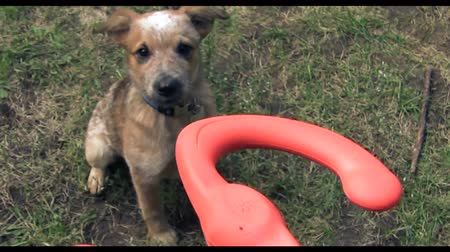 lasting : Puppy Jumping For Play Toy. A owner playing with a puppy with a rubber toy with master pov. Stock Footage