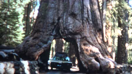 gigante : 8mm Vintage 1966 Car Driving Through Giant Sequoia Tree California Vídeos