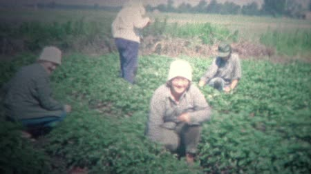 sinematografi : ARKANSAS, USA - 1965: Family hand picking strawberry crops on hands and knees.