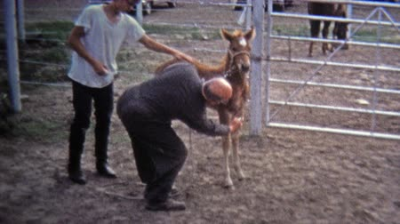 GREENSBORO, NC -1971: Pony trainer whispers and calms ranch horses.