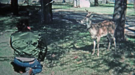 KEY WEST, FL -1971: Man playing with young pet whitetail male deer. Wideo