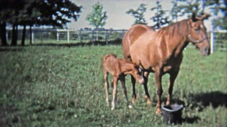 GREENSBORO, NC -1973: Mother and baby horse stay close to keep safe. Wideo