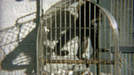 1959: Monkey pissed off trapped in cage yelling at humans around. Wideo
