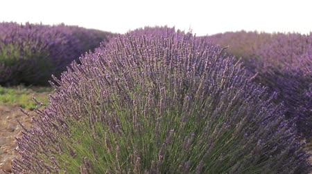 yazlık : Avenues of grass separate the rows of lavender which stretch as far as the eye can see