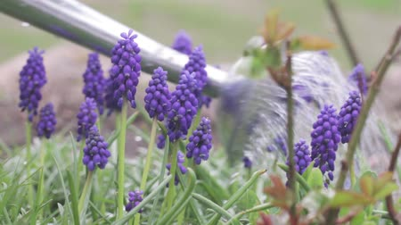 konewka : Grape hyacinths being watered with a watering can