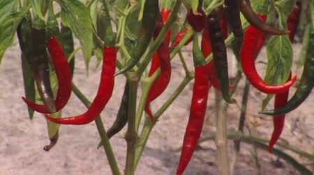 biber : Close up shot of chili peppers on plant Stok Video