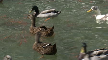 гоночный : A medium shot of ducks racing and fighting for food in a pond.