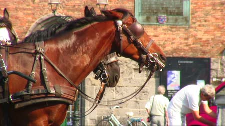 lambida : Team of bridled horses in Bruges, Belgium. One horse is licking his lips. Vídeos
