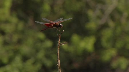 хрупкость : Closeup of a dragonfly perching on the top of a slender branch in a small breeze.