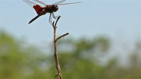 cauda : Closeup of a dragonfly perching on the top of a branch in a gentle breeze with out of focus trees in the backround. Stock Footage