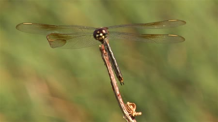 хрупкость : Closeup of a dragonfly perching on the top of a branch in a gentle breeze with waving grasses in the background. Стоковые видеозаписи