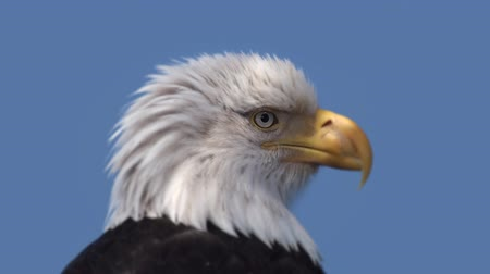bas : A closeup of the head of an American Bald Eagle in partial sunlight with a blue sky at the rear. Stok Video