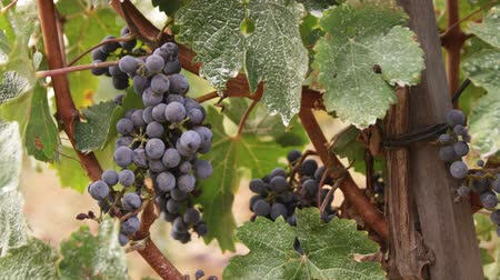 toscana : A shot of grapes in a vineyard in Tuscany. Vídeos