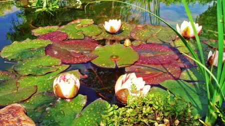 estame : Time-lapse shot of blossoming water lilies in a pond in Utah Stock Footage