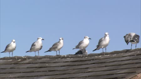 чайка : A shot of several seagulls standing in a row on the peak of a tiled roof.