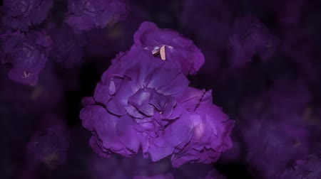 ölen : Time Lapse of violet roses in darkness, suddenly blooms into a grouping of red ones. Stok Video