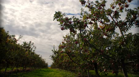 nedvesség : Timelapse of clouds passing by in an apple orchard.