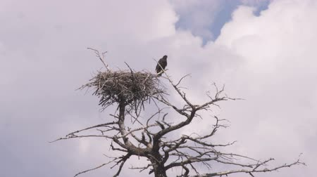hnízdo : Wide shot of an eagle and its nest on top of a tree