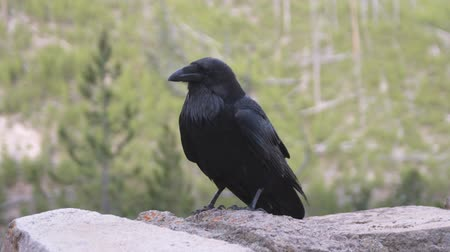 corvo : Medium wide shot of a crow on a rock in the woods