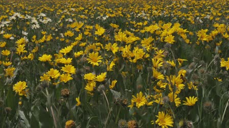 idaho : Medium close shot of sun flowers in a field Stock Footage