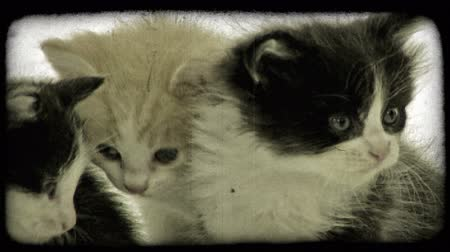 сбор винограда : Close-up of three cute furry kittens with blue eyes, two white and black and one light tan in color, close together with clean white studio background. Vintage stylized video clip. Стоковые видеозаписи