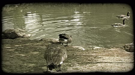 вводить : Two geese with grey and black feathers and black necks, follow behind other three geese already swimming, toward and then into pond surrounded by rocks and trees and dirt. Vintage stylized video clip. Стоковые видеозаписи